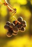 dojrzałych winogron, Zakończenie dojrzenia czerwonego wina winogrona w winnicy podczas jesieni Obraz Stock