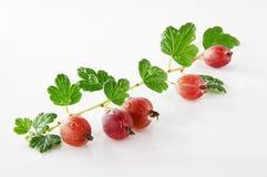 Dojrzała agrestowa owoc Zdjęcia Royalty Free