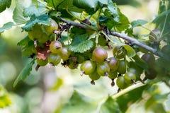 Dojrzała agrestowa owoc na krzaku Obraz Royalty Free
