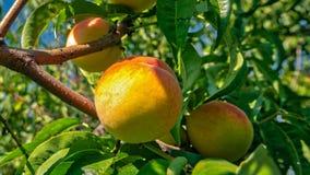 Dojrzałe brzoskwinie r na drzewie w ogródzie zdjęcia royalty free