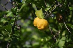 Dojrzałe cytryny wiesza na drzewie Fotografia Royalty Free