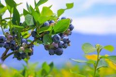 Dojrzałe czarne jagody na czarnej jagody plantaci Obraz Royalty Free