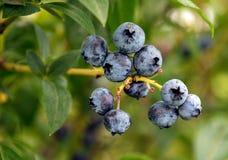 Dojrzałe czarne jagody na krzaku Zdjęcie Royalty Free