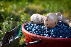 Dojrzałe jagod czarne jagody, pieczarki i Zdjęcia Royalty Free