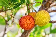 Dojrzałe jagod jagody na drzewie Obraz Stock