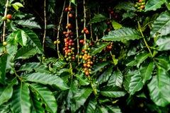 Dojrzałe kawowej fasoli owoc w gospodarstwie rolnym zdjęcie royalty free