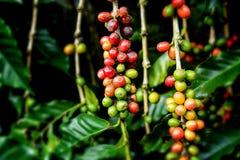 Dojrzałe kawowej fasoli owoc w gospodarstwie rolnym zdjęcie stock