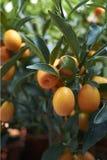 Dojrzałe owoc Kumquats obrazy royalty free