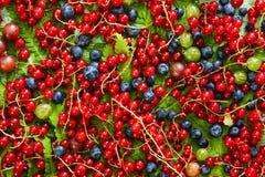 dojrzałe owoce Czerwoni rodzynki, czarne jagody i agresty, na widok Obrazy Stock