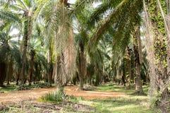 Dojrzałe palmy w rolniczym gospodarstwie rolnym Zdjęcie Stock