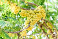 Dojrzała gwiazdowa agrestowa owoc na drzewie Obrazy Stock