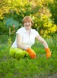 Dojrzała kobieta pracuje w jarzynowym ogródzie Fotografia Royalty Free