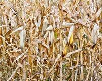 Dojrzała kukurudza na badylu Obraz Royalty Free