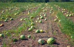 dojrzała melon woda Zdjęcia Stock
