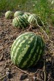 dojrzała melon woda Obrazy Royalty Free