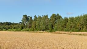 dojrzała pola pszenicy Fotografia Royalty Free