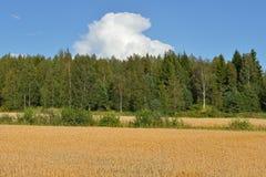 dojrzała pola pszenicy Obrazy Royalty Free