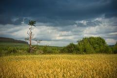dojrzała pola pszenicy Obraz Stock