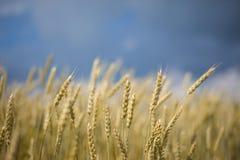 dojrzała pola pszenicy Obraz Royalty Free