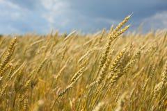 dojrzała pola pszenicy Zdjęcie Royalty Free