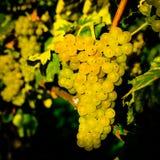 Dojrzała, soczysta owoc wino, prawie obraz stock