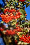Dojrzały czerwony ashberry Zdjęcia Stock