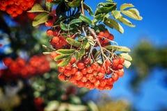 Dojrzały czerwony ashberry Obraz Royalty Free