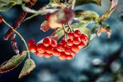 Dojrzały czerwony ashberry Zdjęcia Royalty Free
