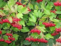 Dojrzały czerwony cranberry Obrazy Stock