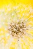 dojrzały dandellion kwiat Zdjęcie Stock