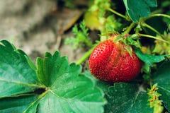 Dojrzały jagodowy Victoria Obraz Stock