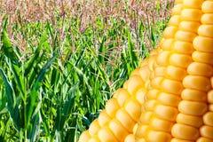 dojrzały kukurydzany pole Fotografia Royalty Free