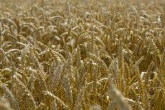 dojrzały kukurydzany pole Obrazy Stock