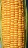 dojrzały kukurydzany ucho Fotografia Stock
