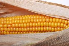 dojrzały kukurydzany ucho Zdjęcia Stock