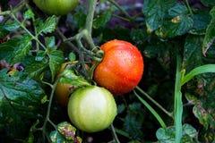 Dojrzały pomidor w ogródzie Zdjęcie Stock