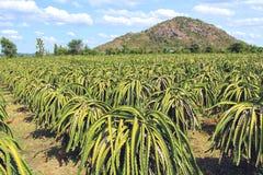 Dojrzały smok na plantaci w Wietnam Obraz Stock