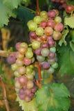 Dojrzały winogrono na winnicy Obraz Royalty Free