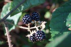 Dojrzałych czernic czarne jagody Obraz Royalty Free
