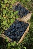 dojrzałych winogron, Obrazy Royalty Free