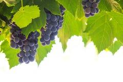 dojrzałych winogron, Zdjęcie Royalty Free