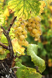 dojrzałych winogron, Zdjęcia Royalty Free