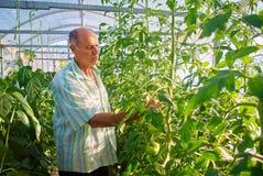 Dojrzała męska ogrodniczka pracuje w szklarnia ogródzie Fotografia Royalty Free