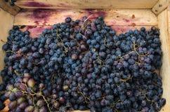 Dojrzali błękitni winogrona w drewnianym pudełku Obraz Stock