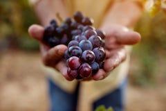 dojrzali błękitny winogrona fotografia royalty free
