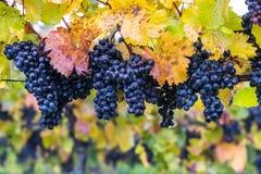 Dojrzali Błękitni winogrona na gałąź Zdjęcie Stock