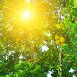 Dojrzali breadfruit Artocarpus altilis na drzewie Zdjęcia Royalty Free
