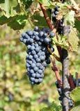 Dojrzali czarni winogrona Obraz Royalty Free