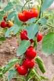 Dojrzali czerwoni czereśniowi pomidory na winogradzie Zdjęcie Royalty Free