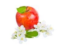Dojrzali czerwoni jabłka i jabłoni kwiaty Zdjęcie Stock